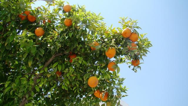 Кипр, Никосия, мандарины на улице