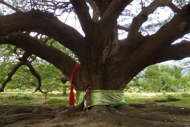 Giant tree, Kanchanaburi, Thailand