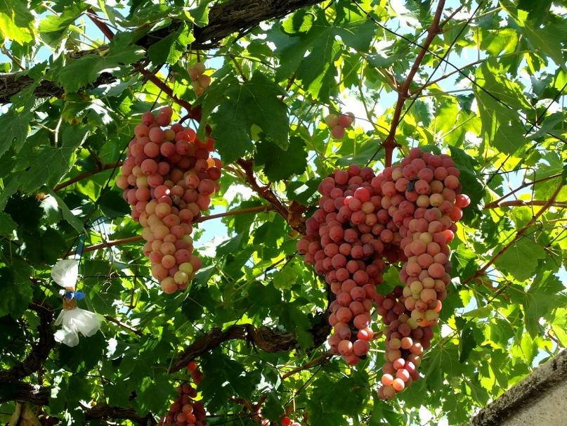 Дикорастущий виноград на Кипре