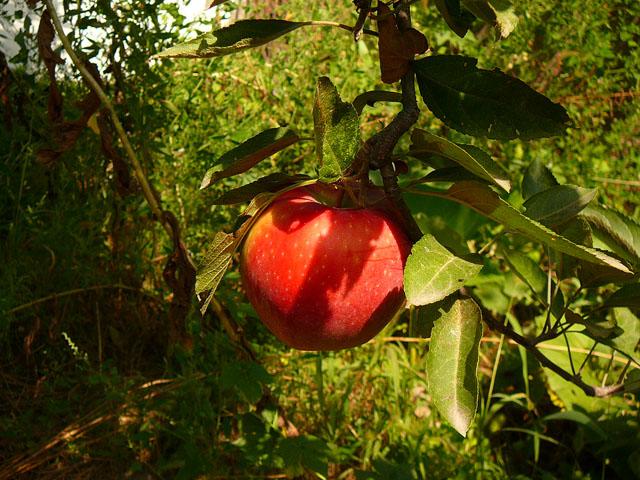 Яблоки Алматы