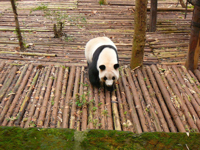 Питомник панд в Ченду, Китай
