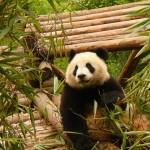 Чэнду, провинция Сычуань — знакомство с городом. Монастыри и народный парк.