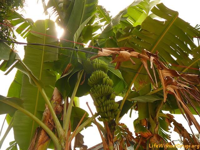 Бананы в Камбодже