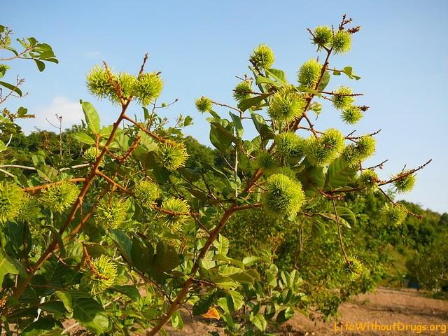 Тропический фрукт- рамбутан
