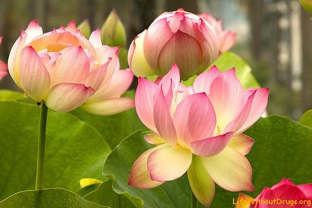 цветы лотоса фото: