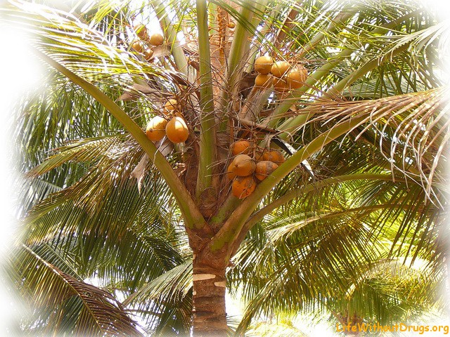 Полезные свойства кокосов