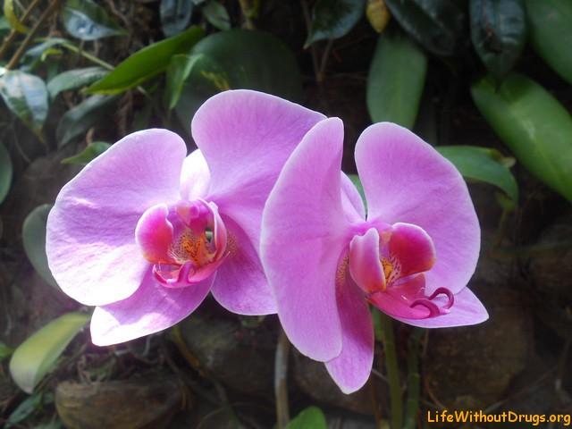 Орхидеи на Бали