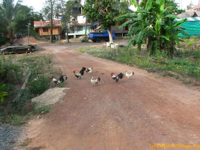 Курицы на нашей улице на Ко Ланта
