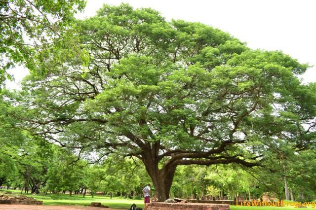 Мудрые и большие деревья в парке Сукхотай