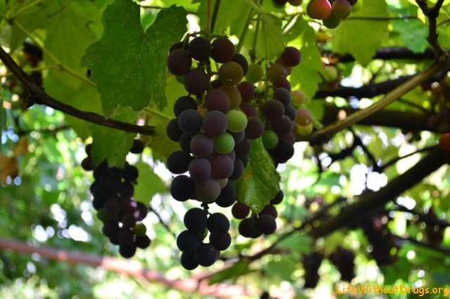 Виноград в Туапсе