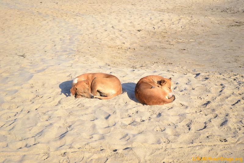 Собаки в Гоа