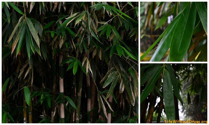 Священный бамбук