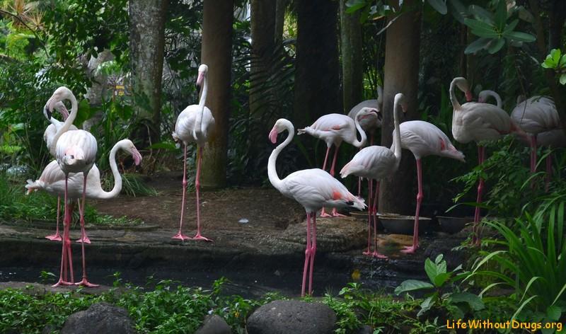 Фото фламинго