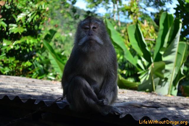 Мартышка с горы Лемпуянг
