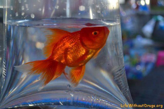 Золотая рыбка, исполняющая мечты