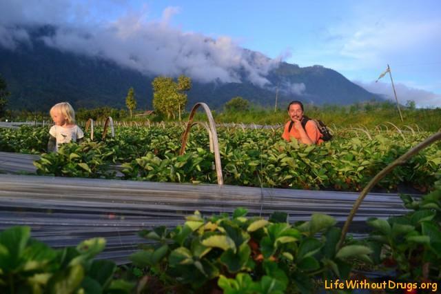 Клубничные плантации на Бали