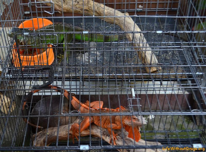 Вараны на Бали сидят в клетках