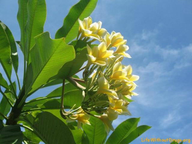 Цветы франжипини