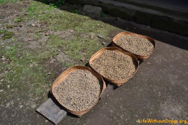 кофе Робуста сушится на солнце