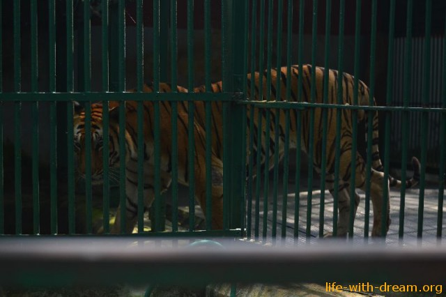Тигры в Тривандруме