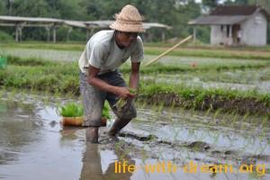 Как сажают рис на Бали