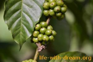 Кофе робуста на Бали