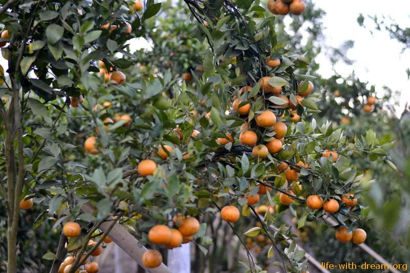Оранжевое настроение - мандарины на Бали