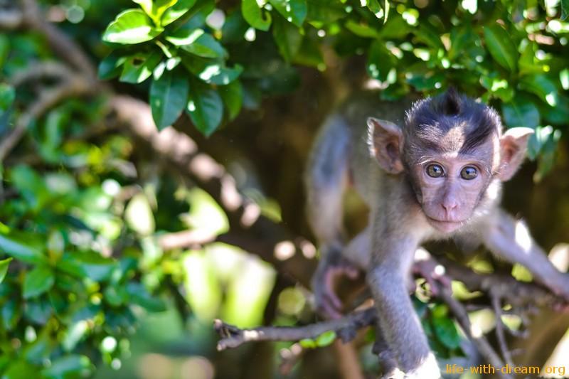 фото обезьян на Бали