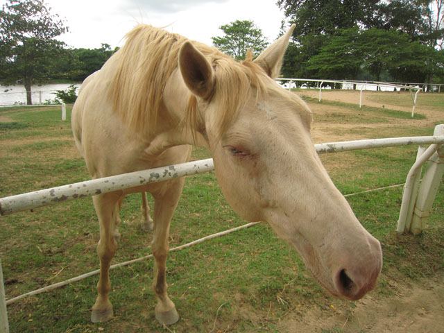 white horse, Kanchanaburi, Thailand horse