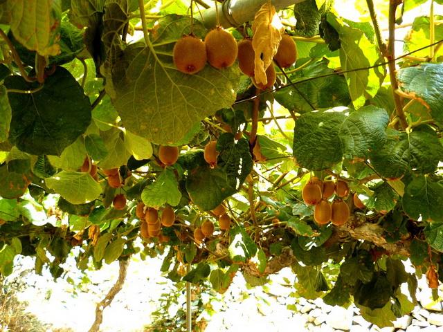 Кипр, фрукты