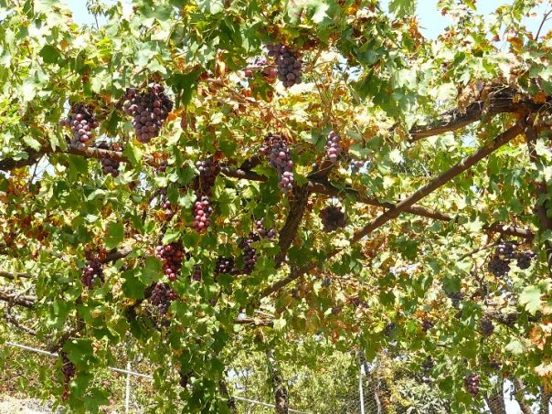 Виноград Кипра