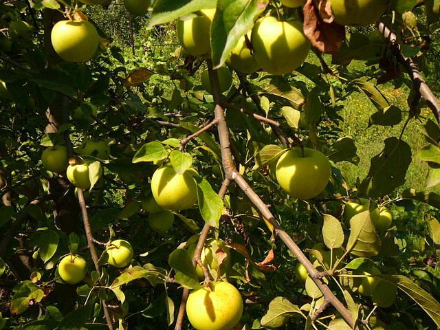 Сад Яблок Алматы