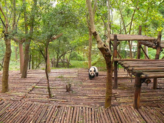 Панды в Ченду, Сычуань