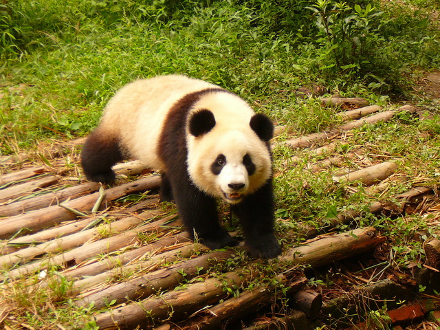 Ченду, заповедник панд