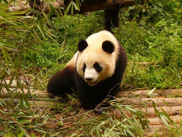 Панды в Ченду, Китай