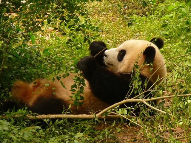 Панды в Китае