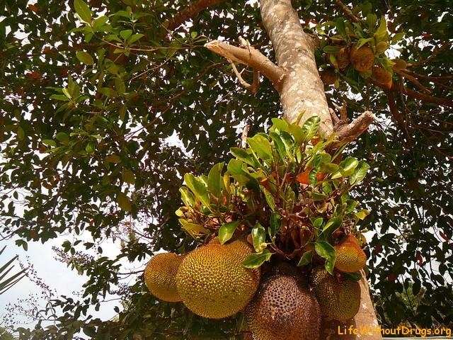 Тропические фруктовые деревья в Камбодже