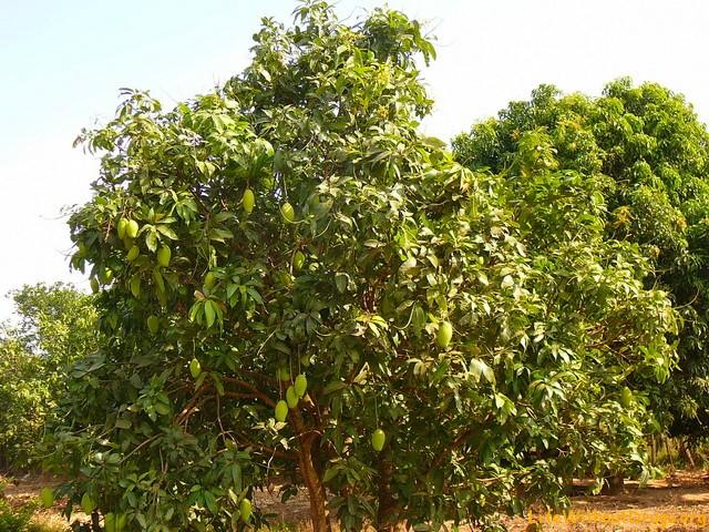 Тропический фрукт - манго, Камбоджа