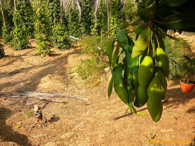 Тропический фрукт -Манго