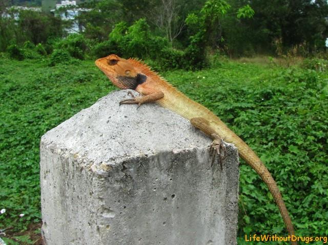Какая -то медитирующая ящерица