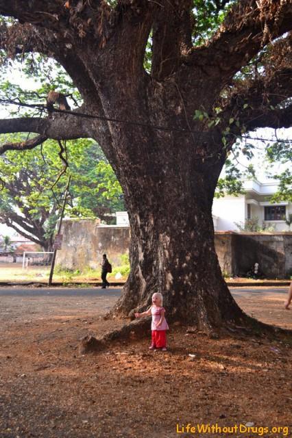 Большие деревья в Кочине