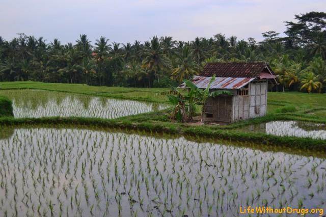 Рисовые поля Бали