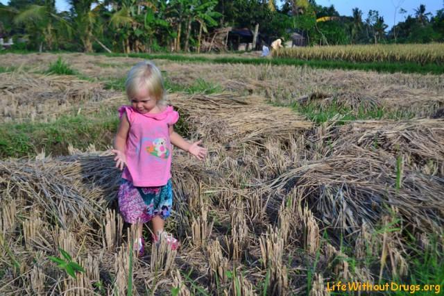 Рисовые поля - урожай собран