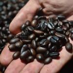 Кофе арабика, робуста и знаменитый кофе лювак. Кофейные плантации Бали.