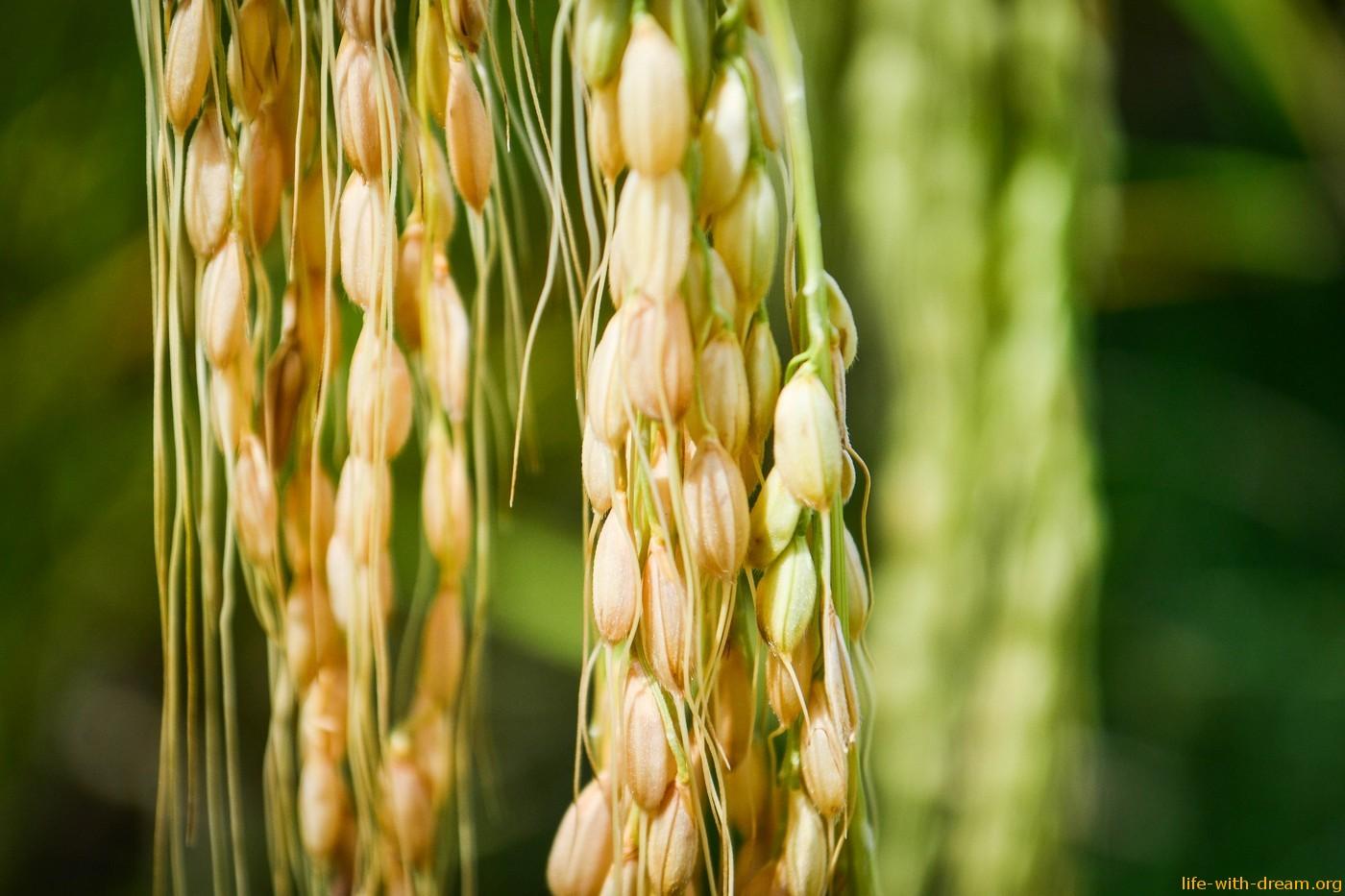 Как растет рис на острове Бали. Балийский рис - волшебный дар богов.