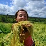 Как растет рис на острове Бали. Балийский рис — волшебный дар богов.
