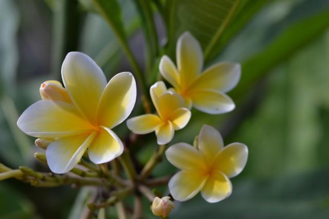 Плюмерия или Франжипани, волшебные цветы в моей жизни.