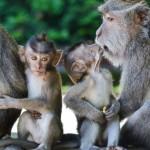 Лес обезьян на Бали (и много — много фото обезьян).